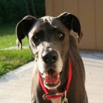 Image of a gray great dane with a red collar standing outside
