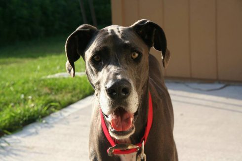 Image of Justin the great dane dog, wearing a red collar outside