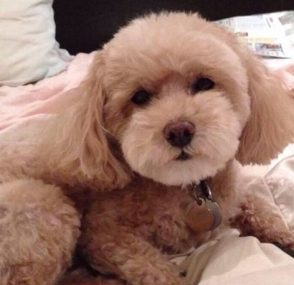 A white poodle named Sadie sitting on a bed starring right into the camera