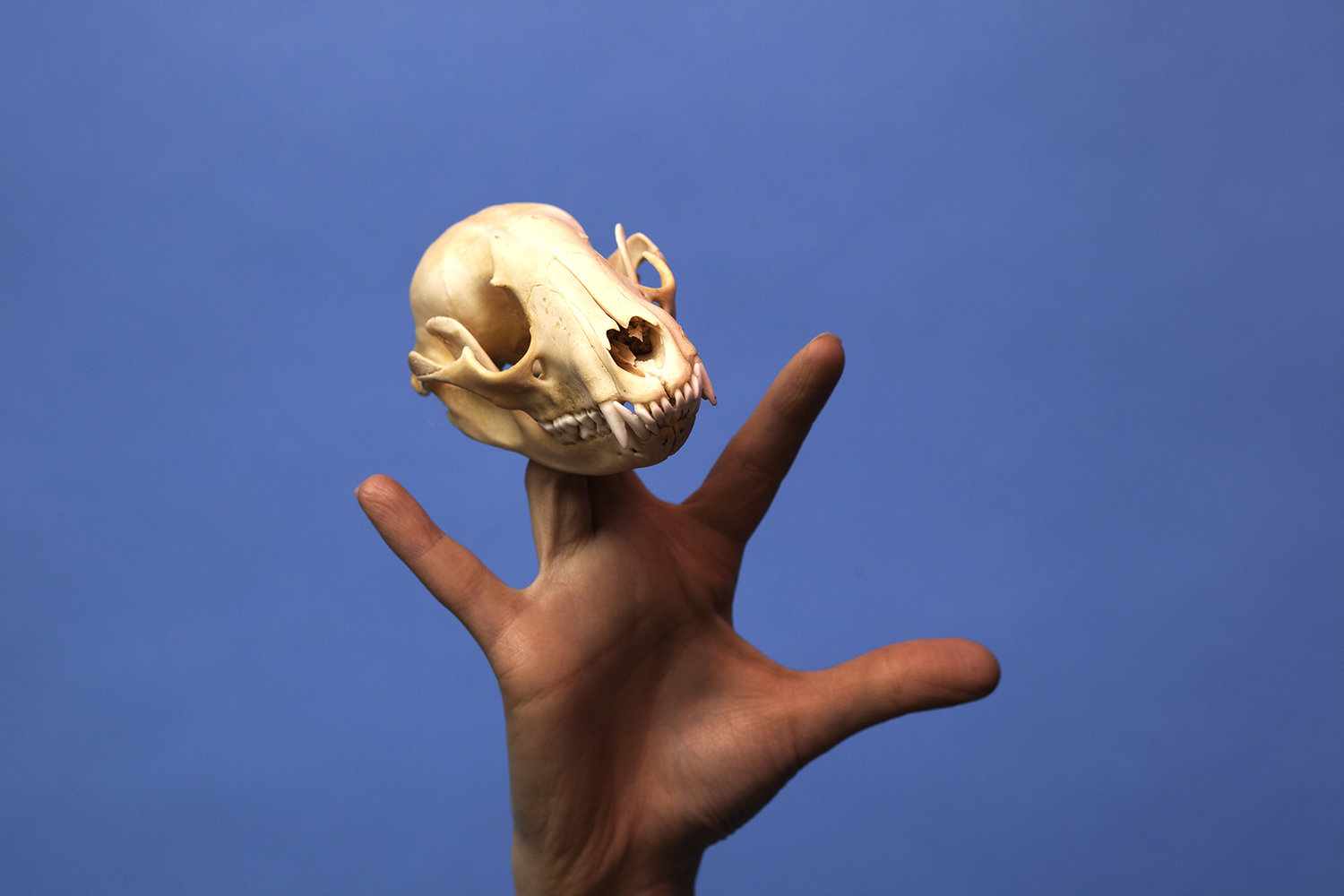 A hand holding an animal skull in front of a bright blue back drop shot by photographer Nicholas Rouke