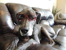 Image of a gray great dane dog wearing sunglasses